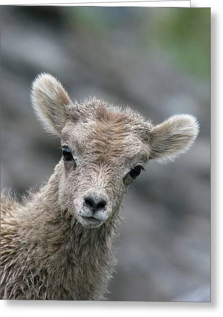 Rocky Mountain Bighorn Sheep Lamb Greeting Card by Ken Archer