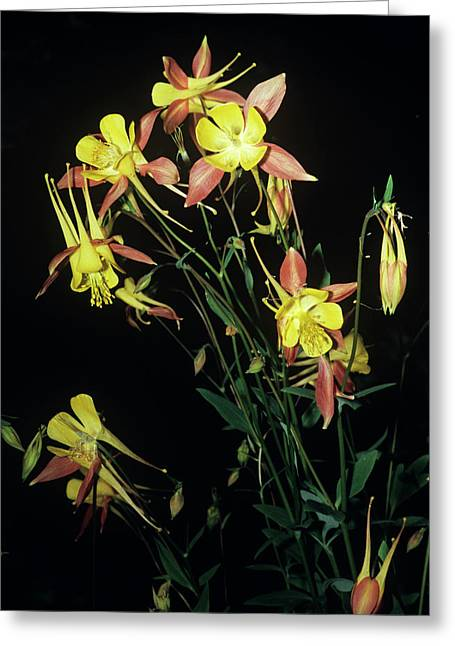 Rocky Mountain Columbine Flowers Greeting Card by Brian Gadsby/science Photo Library
