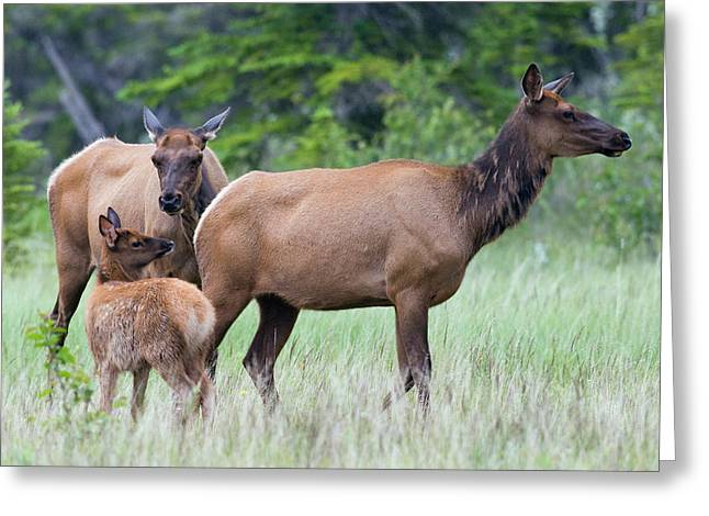 Rocky Mountain Elk Cow With Calf Greeting Card