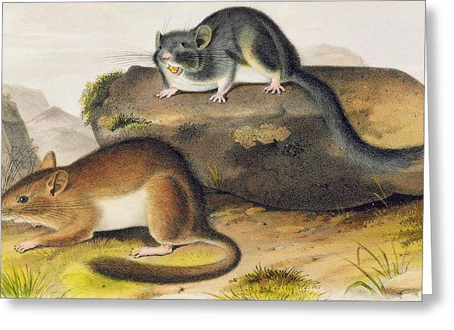 Rocky Mountain Neotoma Greeting Card by John James Audubon