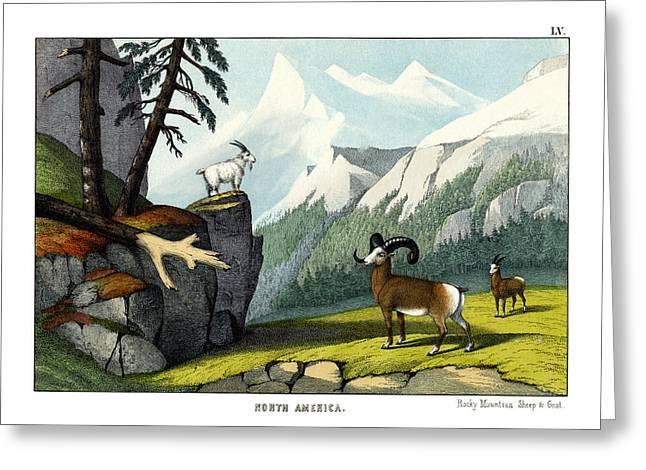 Rocky Mountain Sheep Greeting Card by Splendid Art Prints