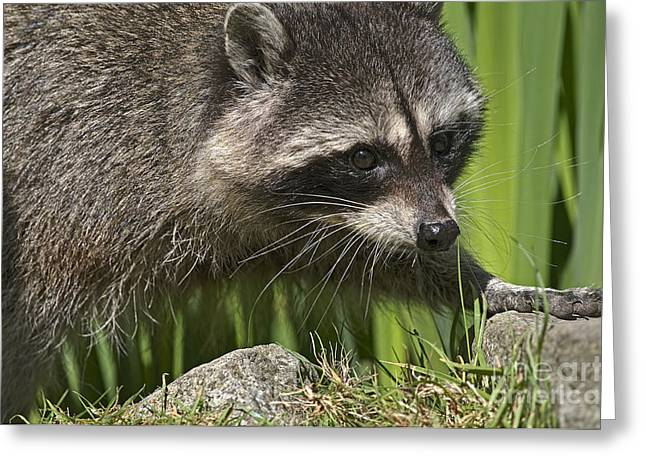 Rocky Raccoon Greeting Card by Sharon Talson