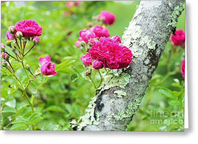 Rogue Rose On Sumac Greeting Card by Thomas R Fletcher