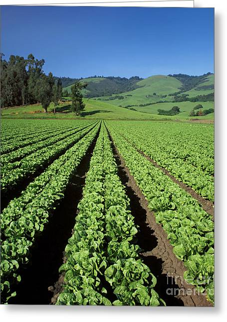 Romaine Lettuce Field Greeting Card by Craig Lovell