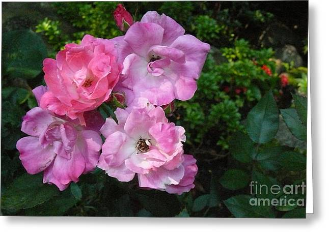 Romantic Pink Roses Greeting Card by Betsy Cotton