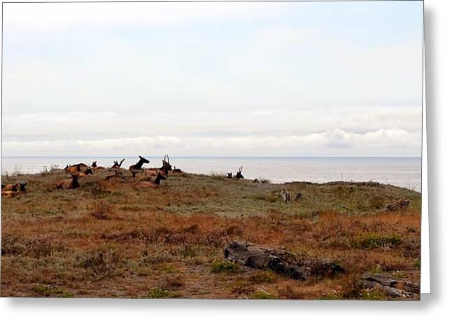 Roosevelt Elk And The Ocean Greeting Card