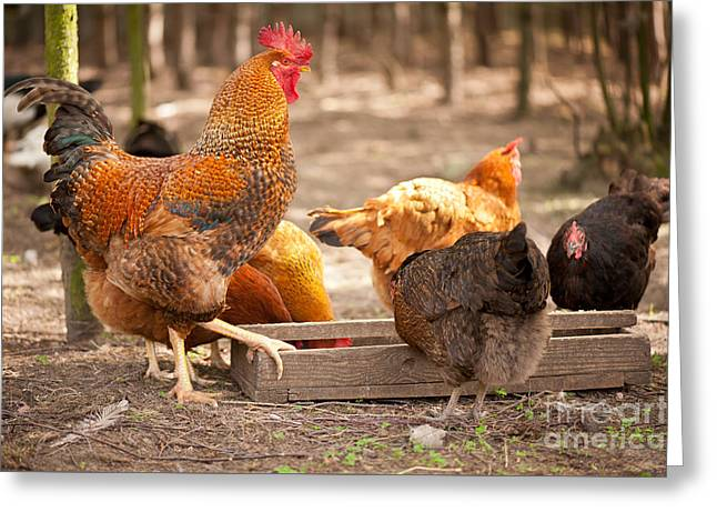 Rhode Island Red Hens Eating From Feeder  Greeting Card by Arletta Cwalina