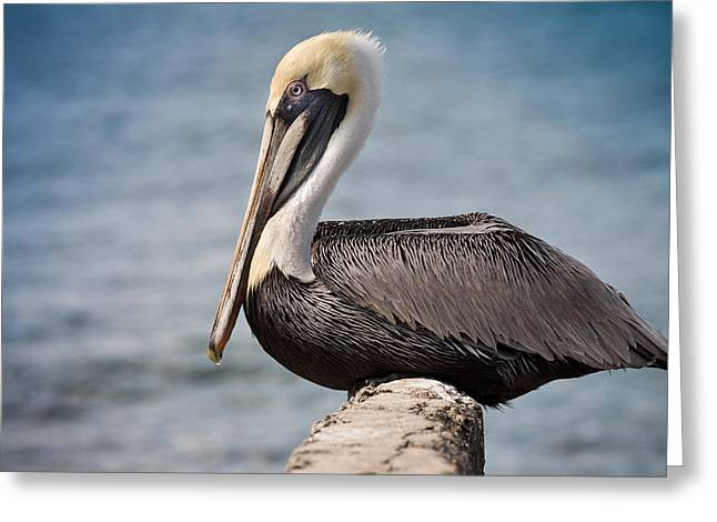 Roosting Pelican Greeting Card