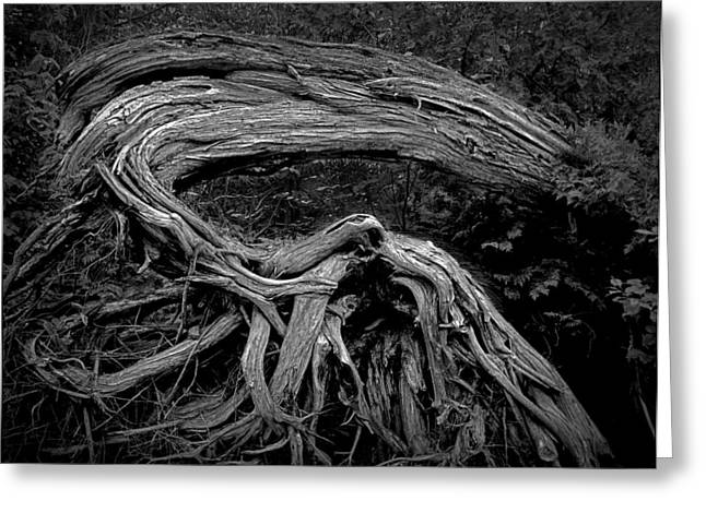 Roots Of A Fallen Tree By Wawa Ontario In Black And White Greeting Card by Randall Nyhof