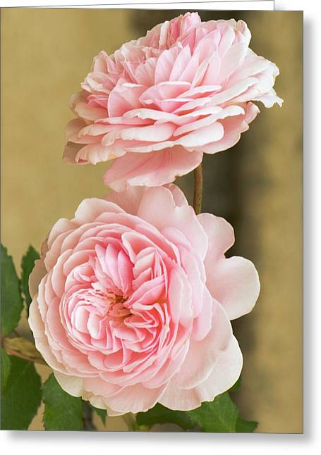 Rosa 'a Shropshire Lad' Greeting Card by Adrian Thomas