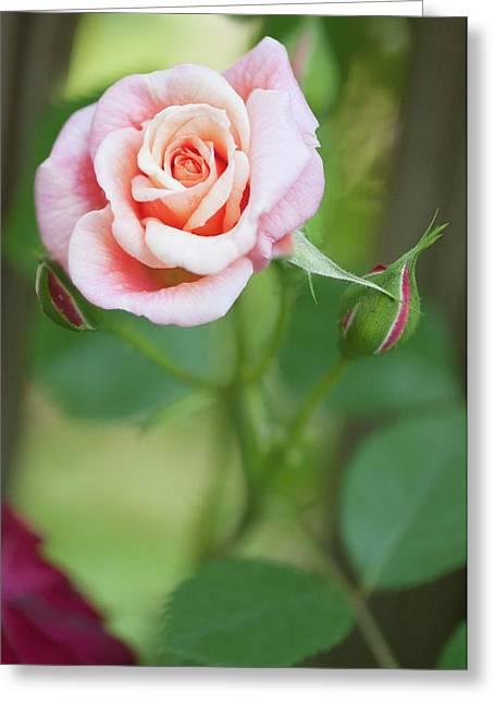 Rosa 'aloha Hawaii' Flower Greeting Card by Maria Mosolova