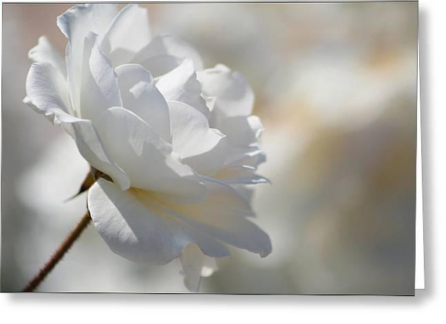 Rosa Blanca 8 Greeting Card by Mirza Ajanovic