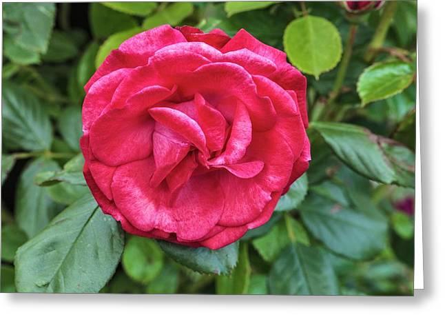 Rosa Danse De Sylphes Greeting Card by Geoff Kidd