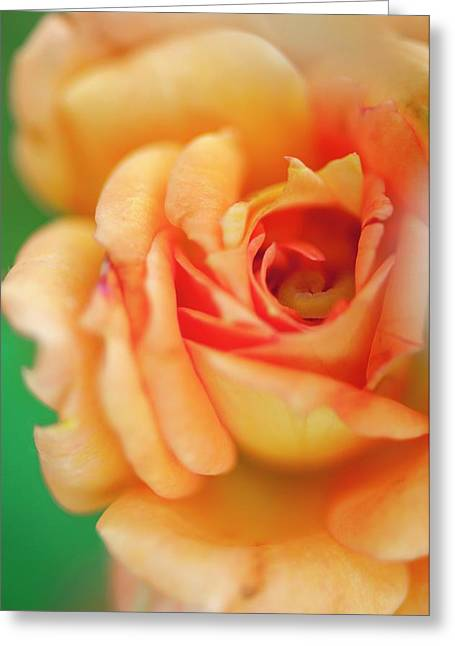Rosa 'easy Does It' Flower Greeting Card by Maria Mosolova