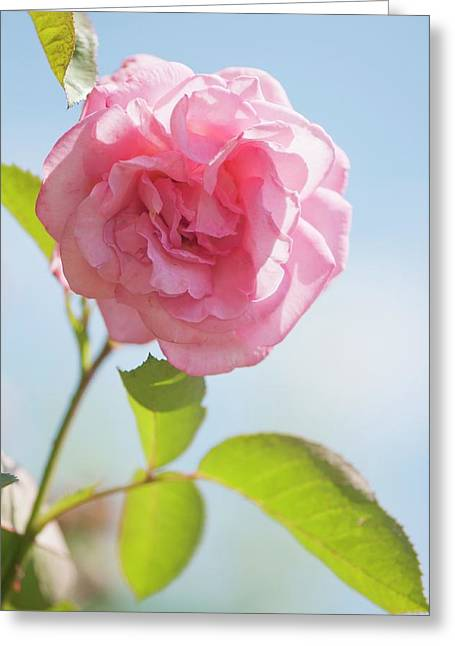 Rosa 'eliza' Flower Greeting Card by Maria Mosolova
