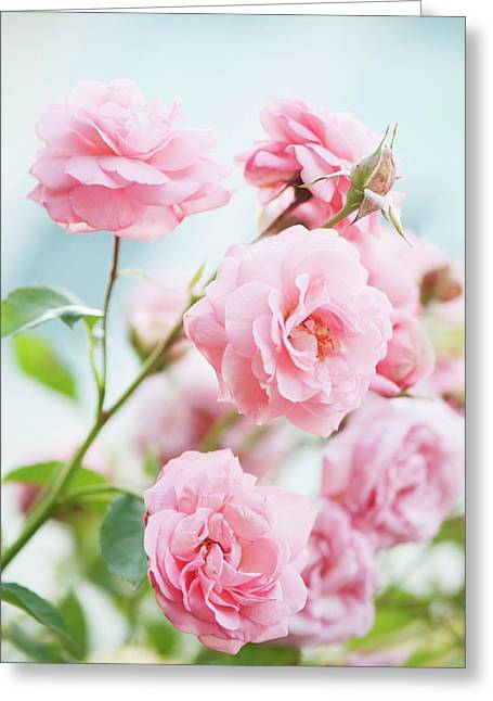 Rosa 'eliza' Flowers Greeting Card by Maria Mosolova