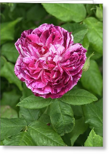 Rosa 'ferdinand Pichard' Greeting Card