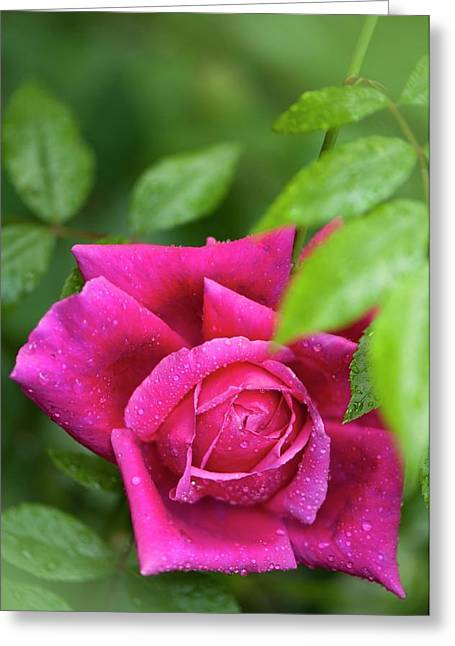 Rosa 'fields Of The Woods' Flower Greeting Card by Maria Mosolova