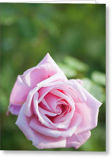 Rosa 'frederic Mistral' Flower Greeting Card by Maria Mosolova