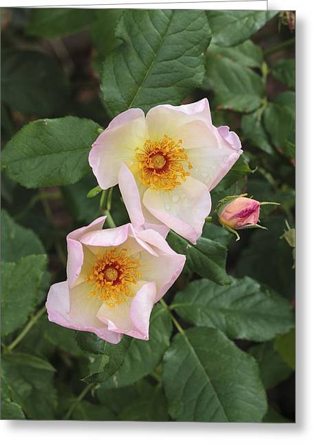 Rosa Heavenly Rosalind 'ausmash' Greeting Card by Science Photo Library
