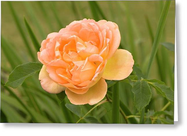 Rosa 'lady Of Shalott' Greeting Card