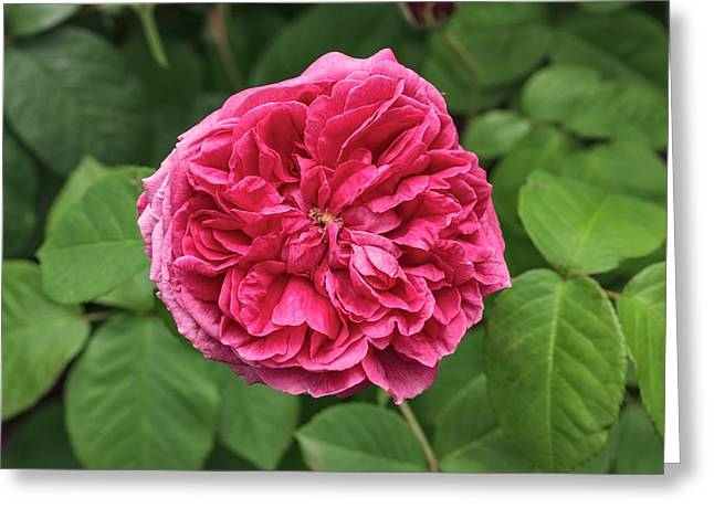 Rosa 'le Havre' Greeting Card by Geoff Kidd