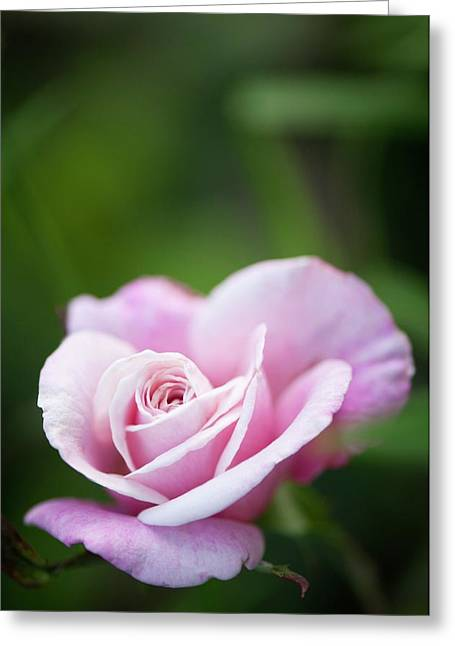 Rosa 'madame Antoine Mari' Greeting Card by Maria Mosolova