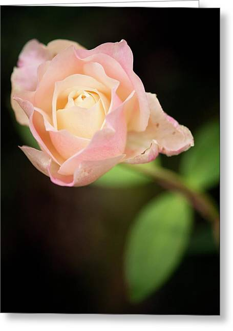 Rosa 'mrs. Dudley Cross' Flower Greeting Card by Maria Mosolova