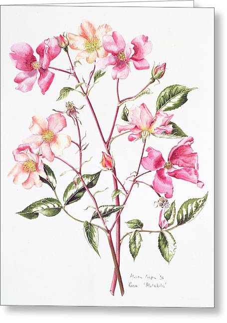 Rosa Mutabilis Greeting Card by Alison Cooper
