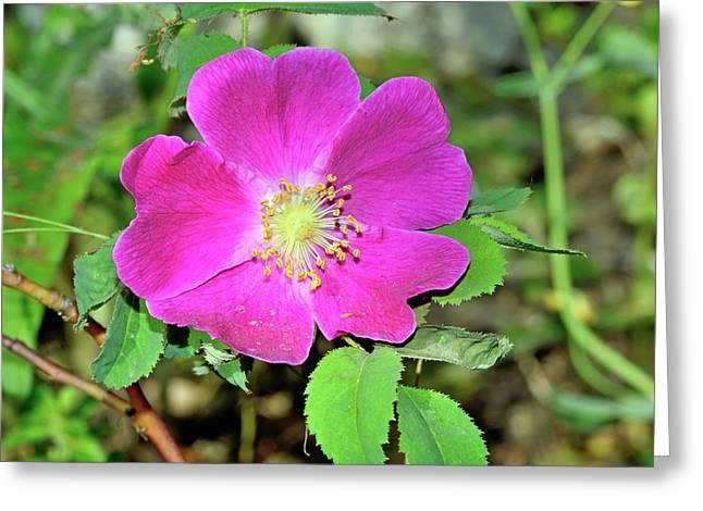 Rosa Pendulina Flower Greeting Card by Bruno Petriglia