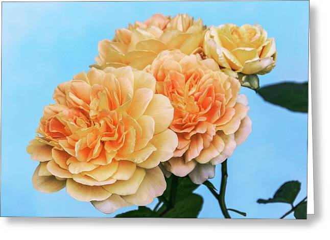 Rosa (rosa 'charlotte') Greeting Card