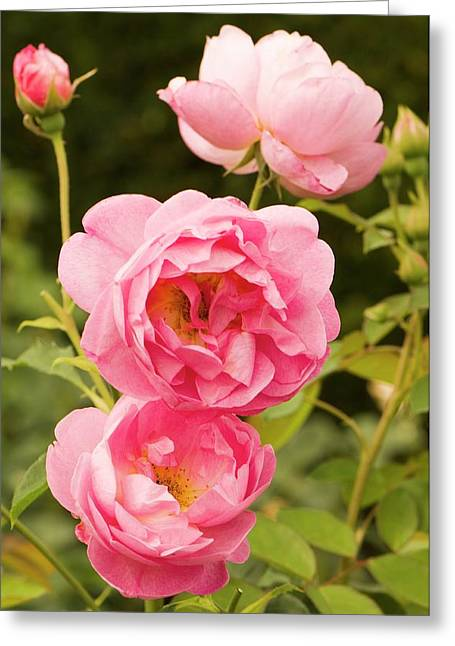 Rosa 'royal Jubilee' Flowers Greeting Card