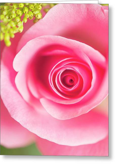 Rosa Sp. Flower Greeting Card by Maria Mosolova