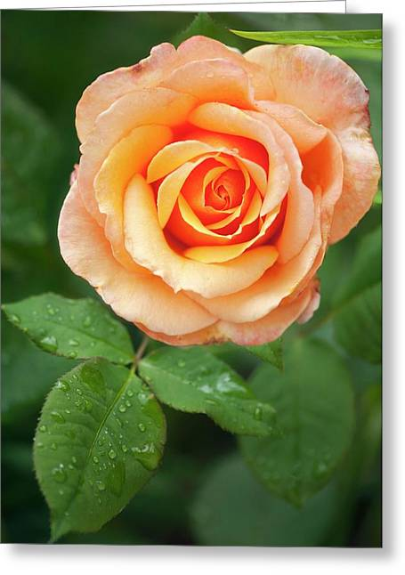 Rosa 'tahitian Sunset' Flower Greeting Card by Maria Mosolova