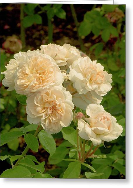 Rosa 'the Lady' Flowers Greeting Card by Adrian Thomas