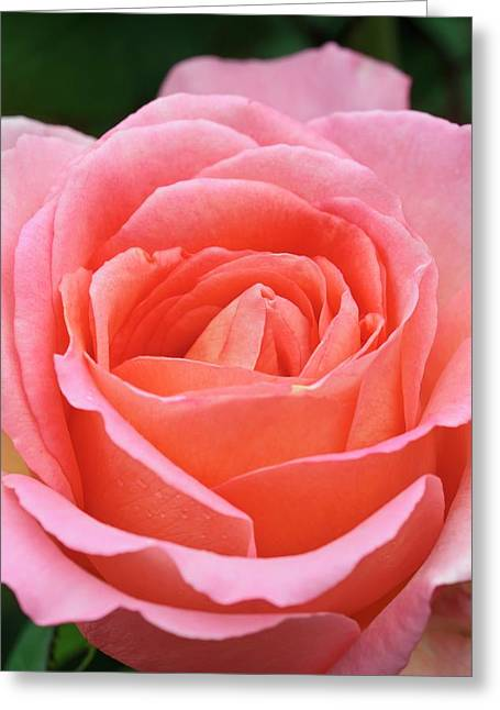 Rosa 'the Whitgift Rose' Greeting Card by Geoff Kidd