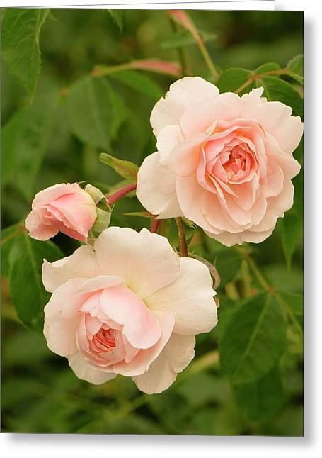Rosa 'wisley 2008' Greeting Card