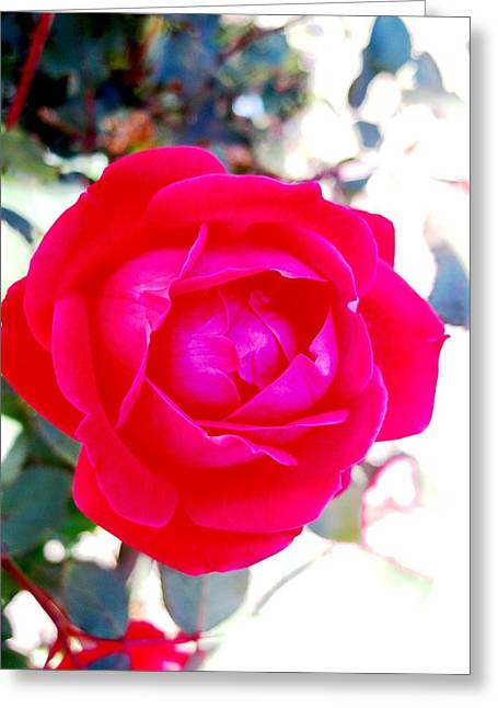 Rose 2 Greeting Card by Will Boutin Photos