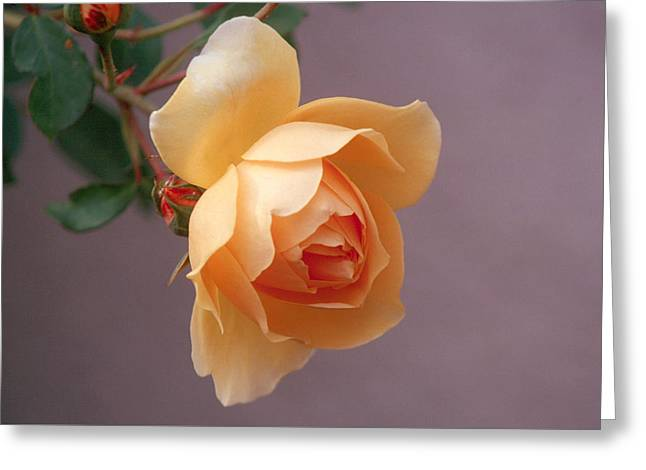 Rose 4 Greeting Card by Andy Shomock