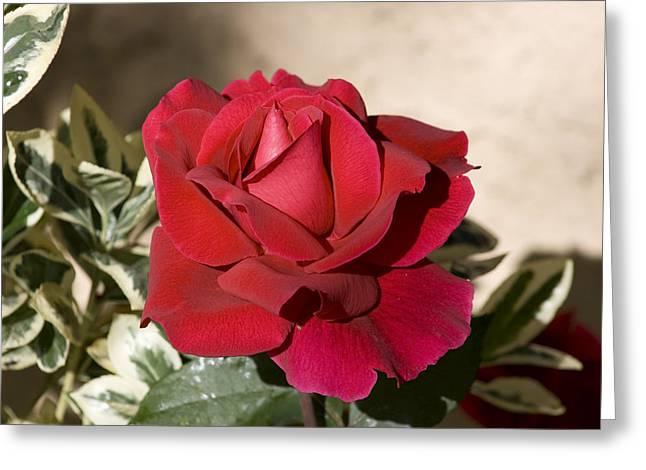 Rose 5 Greeting Card