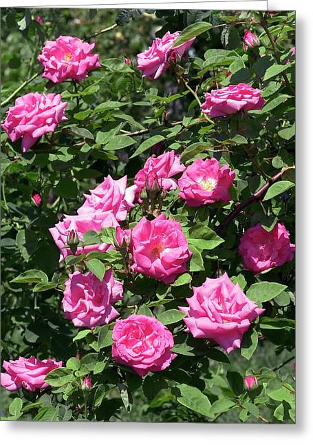 Rose (albertine). Rambler Rose Greeting Card