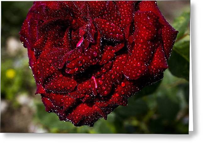 Rose And Dew Greeting Card by Vishal Kumar