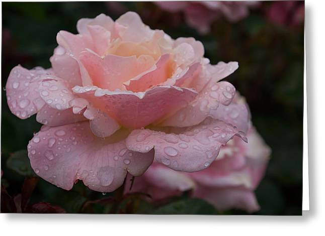 Rose And Rain - Wet Pink Blush Greeting Card by Georgia Mizuleva