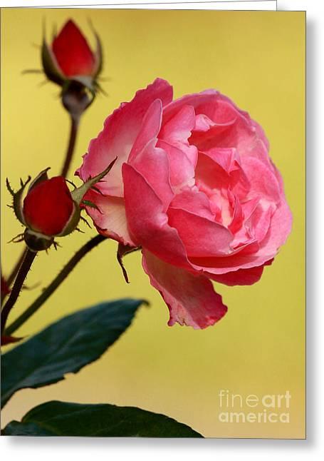 Rose And Rose Buds Greeting Card by Sabrina L Ryan