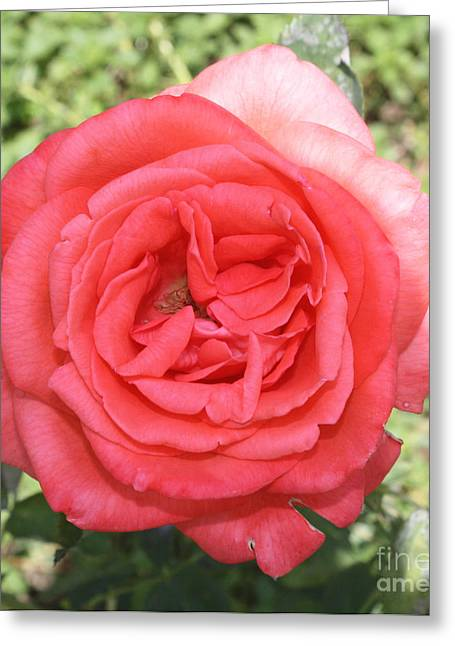 Rose At Clark Gardens Greeting Card by John Telfer