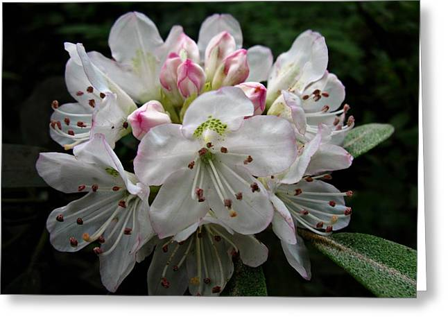 Rose Bay Rhododendron Greeting Card