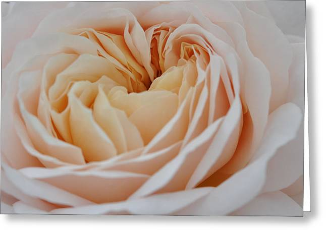 Greeting Card featuring the photograph Rose Blush by Sabine Edrissi