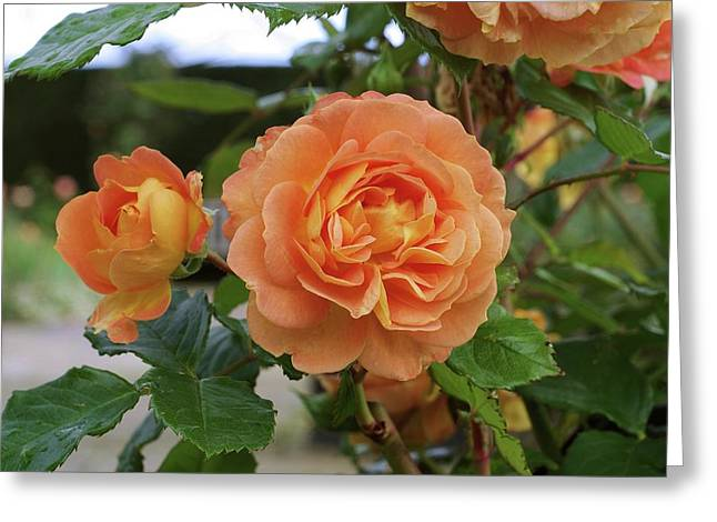Rose Bowled Over (rosa 'tandolgnil') Greeting Card by Neil Joy