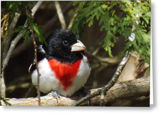 Rose Breasted Grosbeak Perched Greeting Card