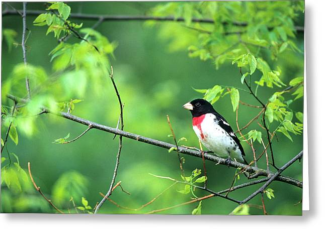 Rose-breasted Grosbeak (pheucticus Greeting Card by Richard and Susan Day